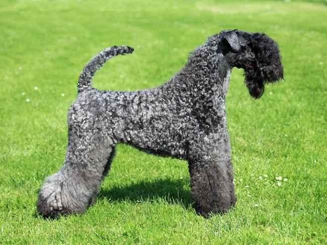 highcompress-Kerry Blue Terrier