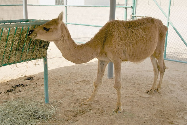 Cama crossbreed animal