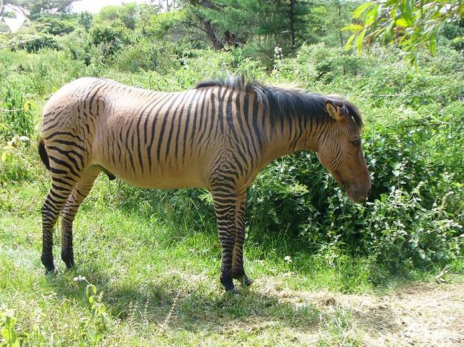 Equine hybrid animal