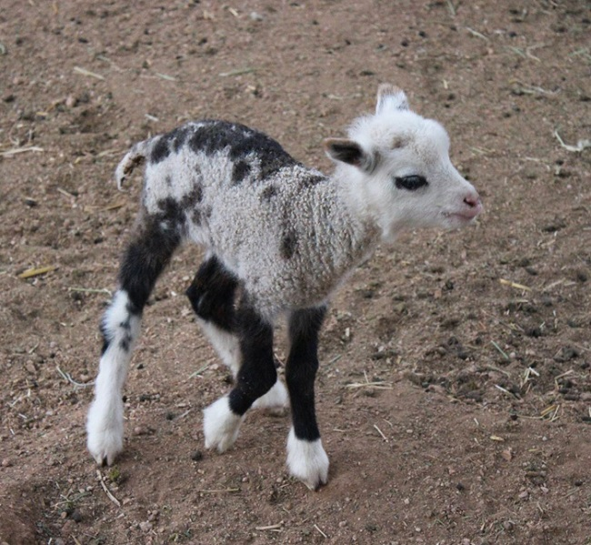 Goat + Sheep is equal to a Geep