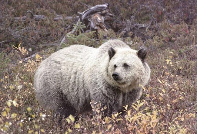 Grizzly–polar bear hybrid