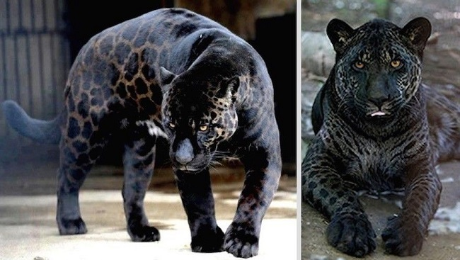 Jaglion hybrid animal
