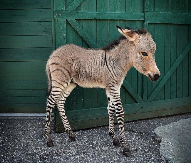 Zonkey hybrid animal