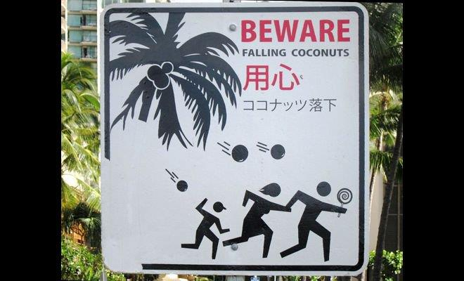 Coconuts claim more lives than sharks every year
